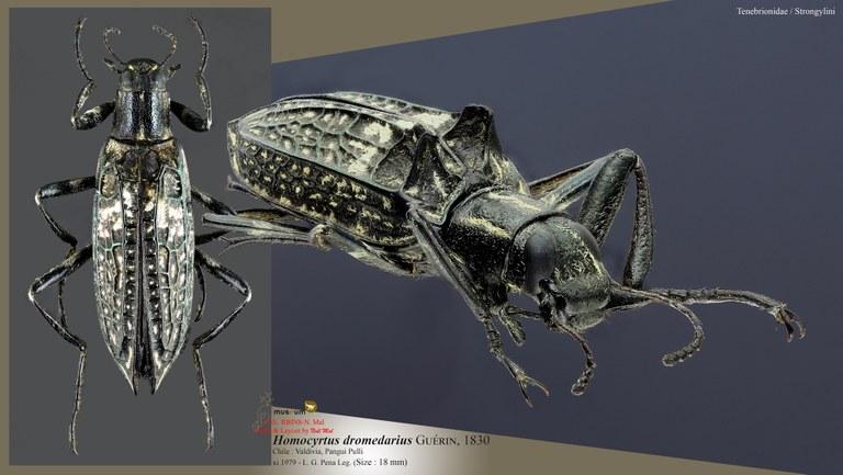Homocyrtus dromedarius.jpg