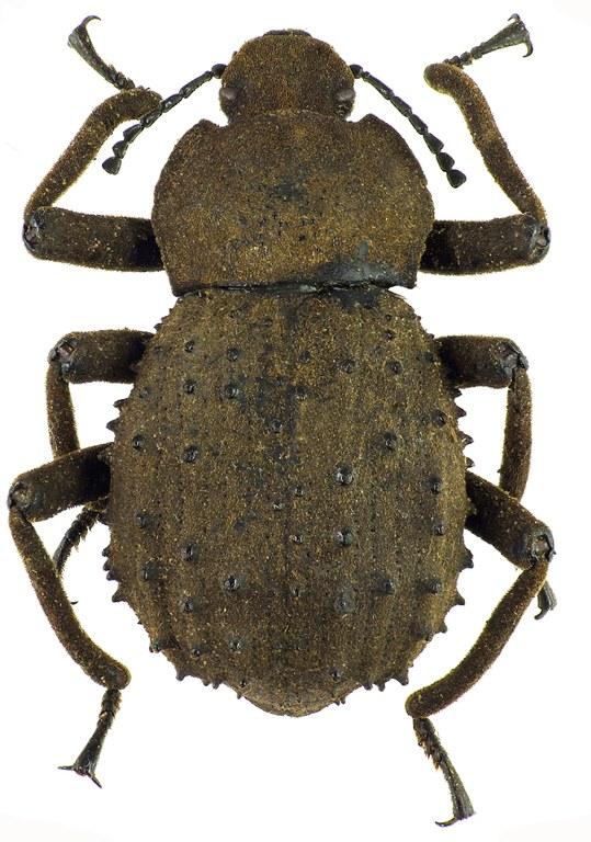 Polposipus herculeanus 78869cz81.jpg