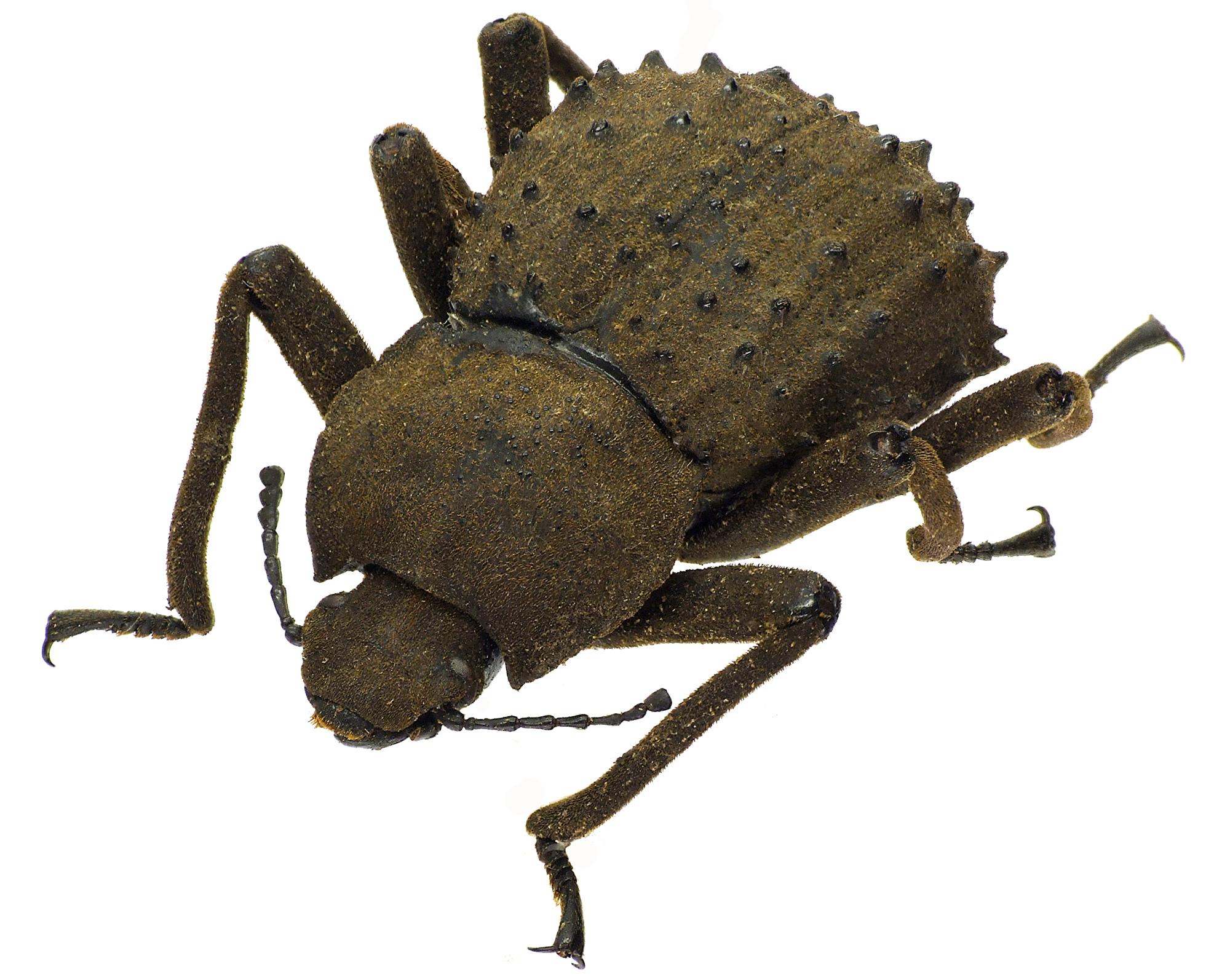 Polposipus herculeanus 78882cz92.jpg
