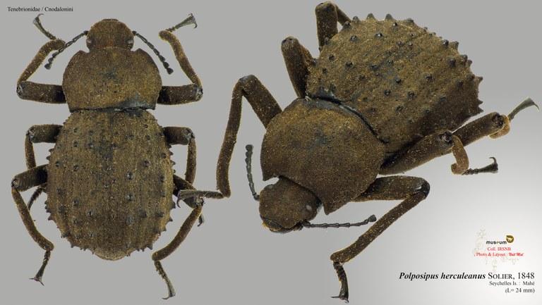 Polposipus herculeanus.jpg