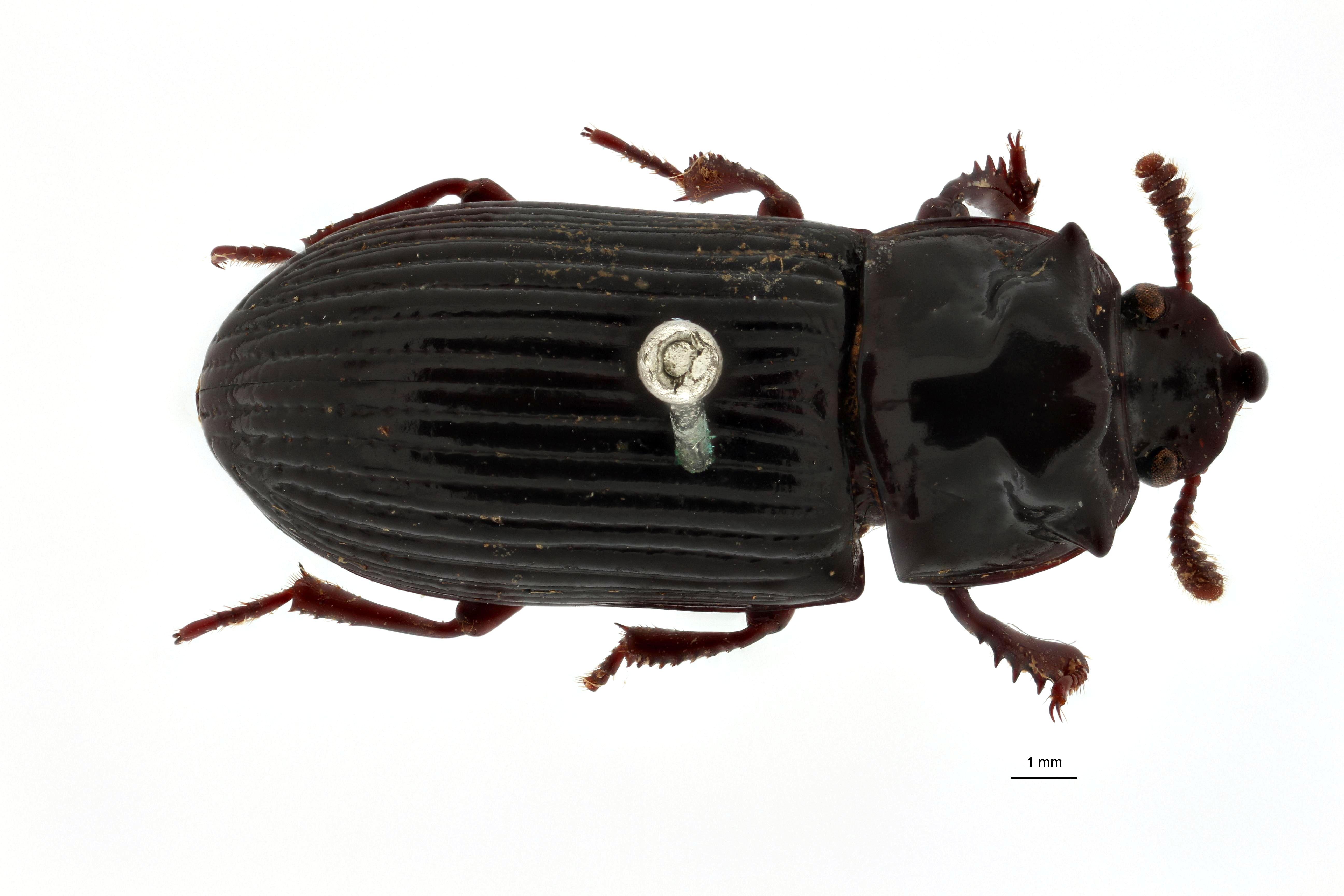 Achthosus gibbicollis pt D.jpg