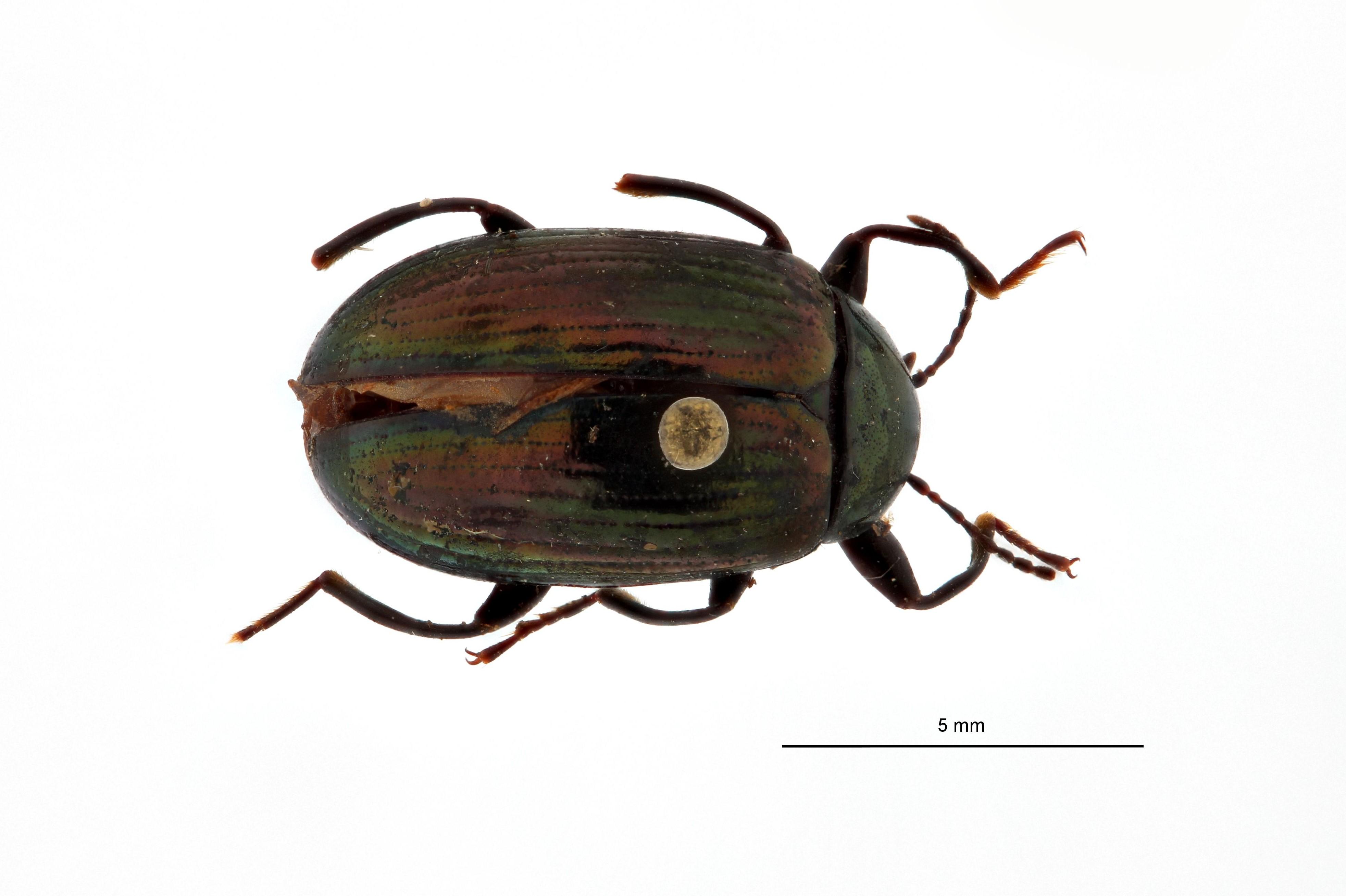 Amarygmus viridilineatus ht D.jpg