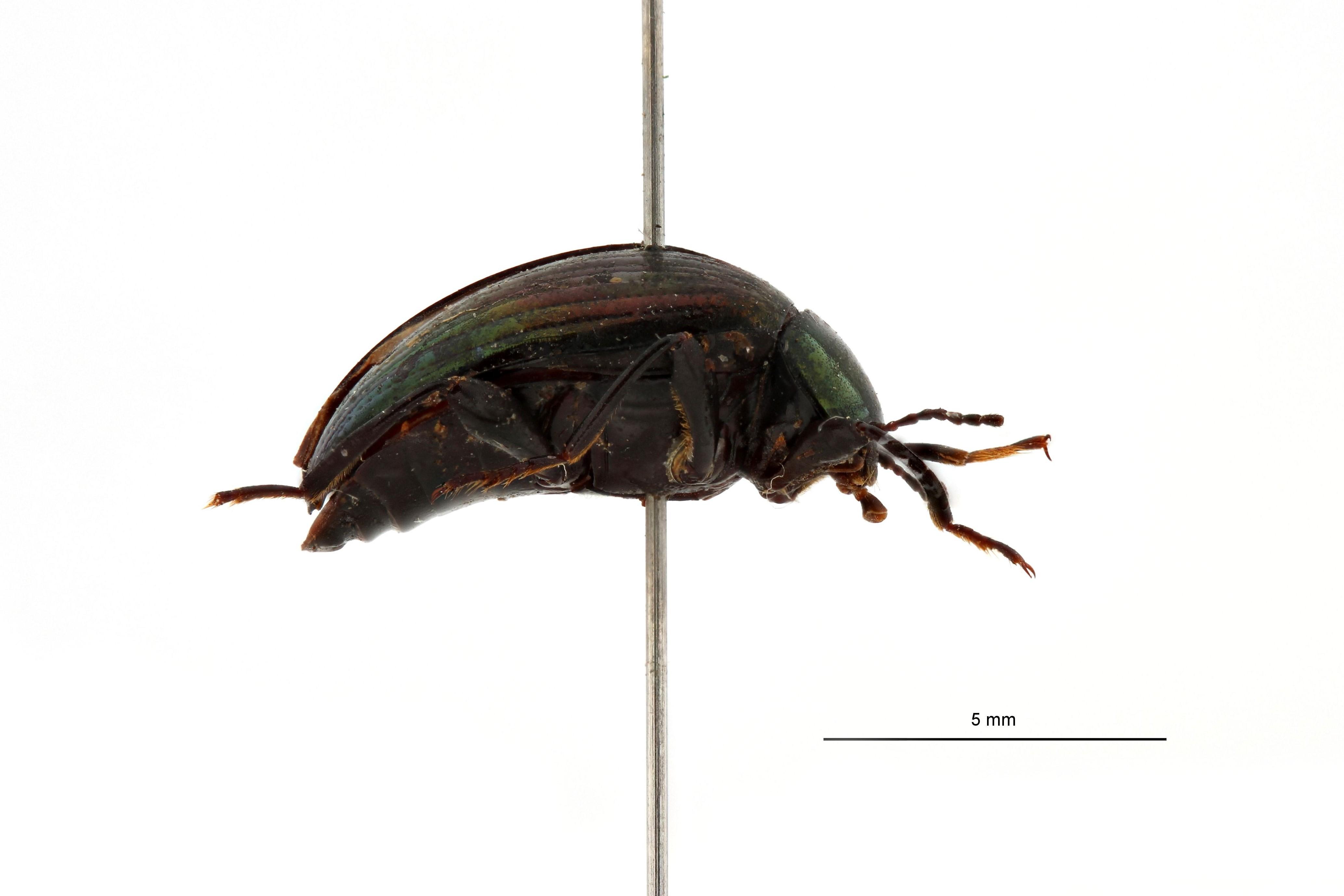 Amarygmus viridilineatus ht L.jpg