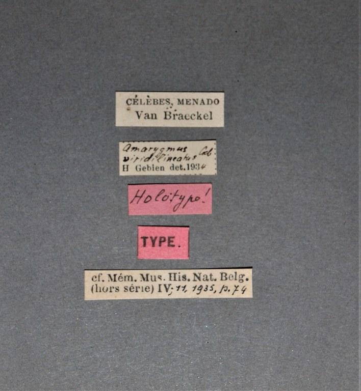 Amarygmus viridilineatus ht.JPG