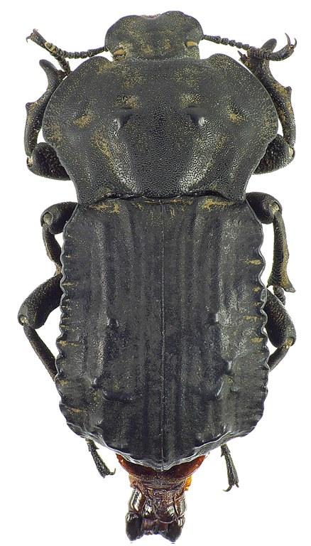 Anomalipus heraldicus heraldicus 25793cz99.jpg