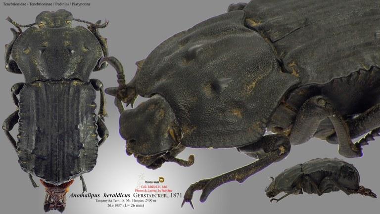 Anomalipus heraldicus-heraldicus.jpg