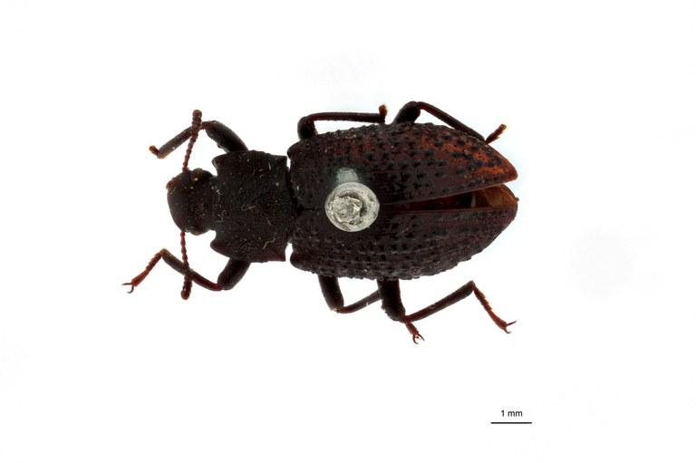 Apteromerus leopoldi pt D.jpg