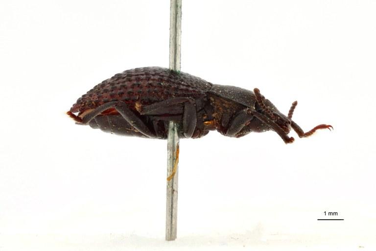 Apteromerus leopoldi pt L.jpg