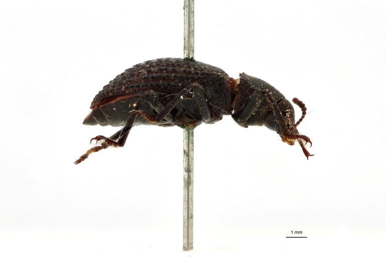 Apteromerus leopoldi ht L.jpg