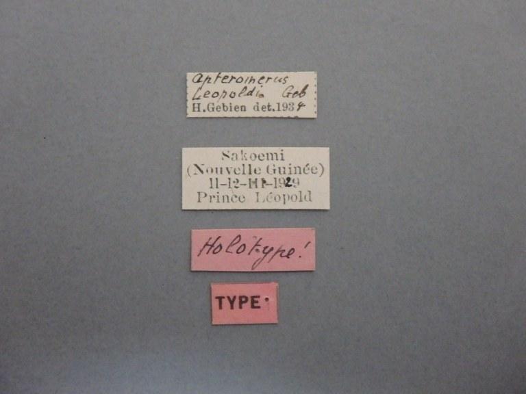 Apteromerus leopoldi ht.JPG