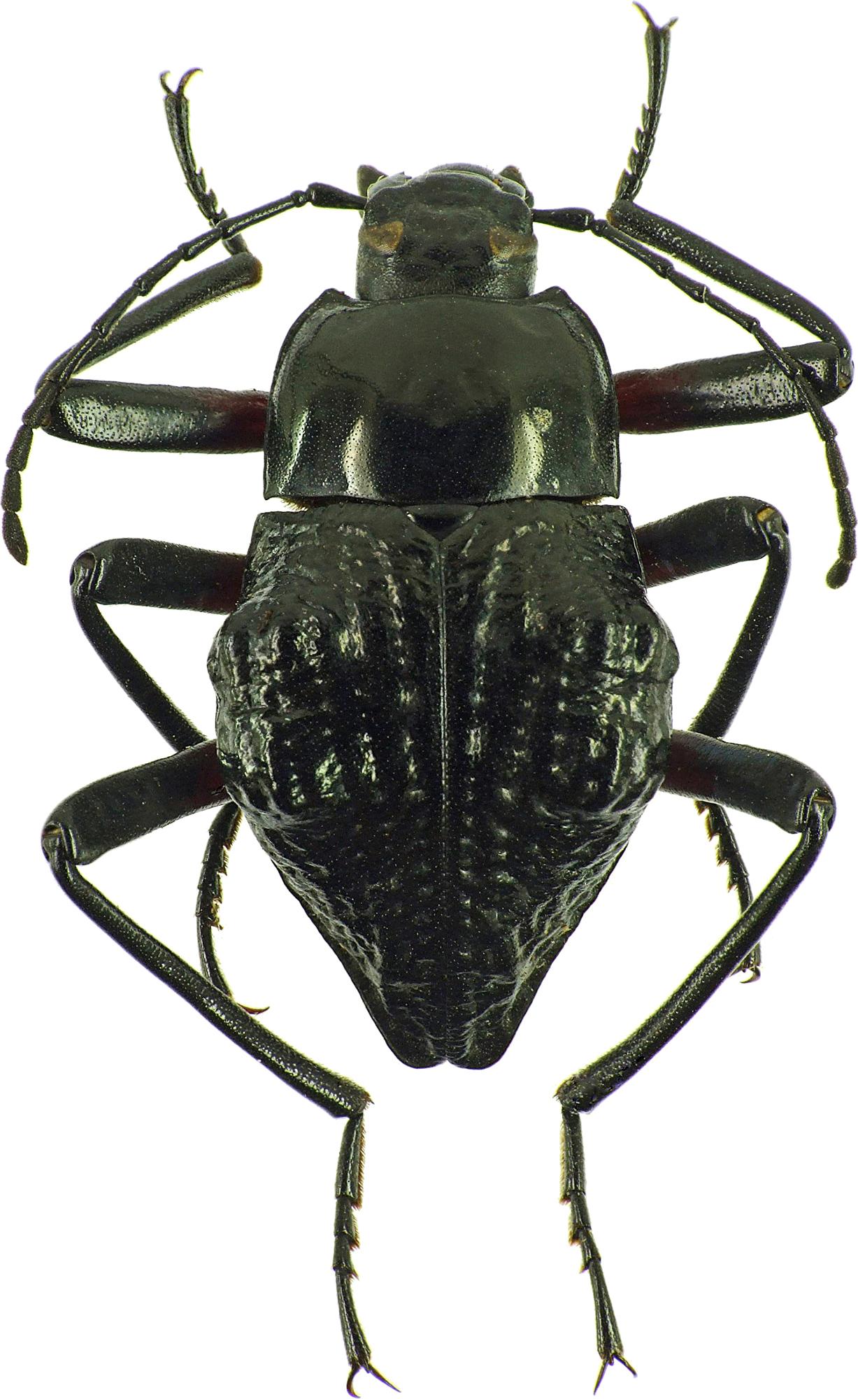 Eulytus nodipennis 25634cz41.jpg