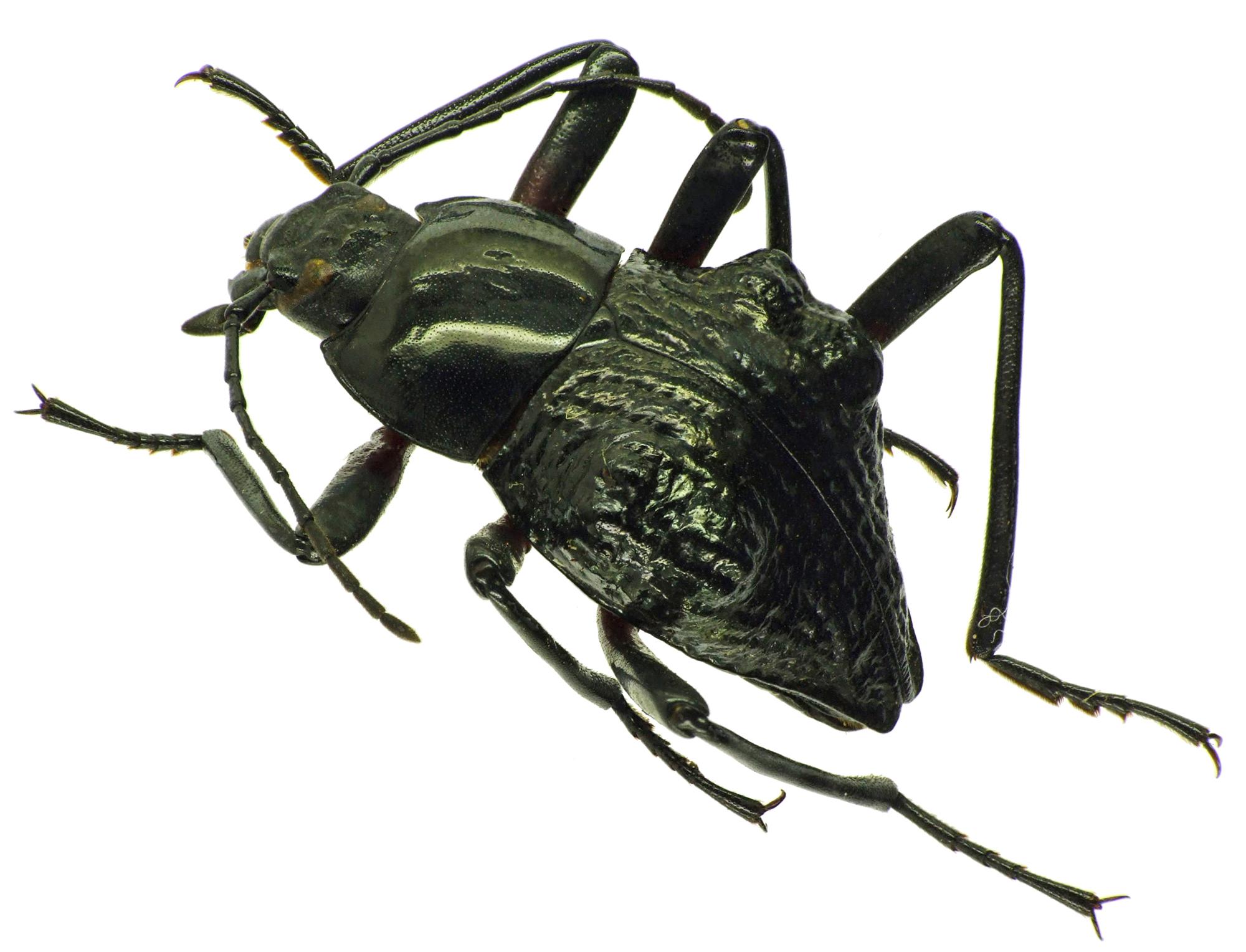 Eulytus nodipennis 25642cz50.jpg