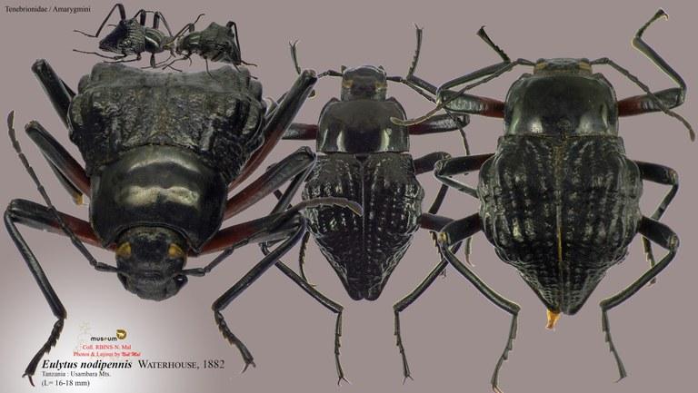 Eulytus nodipennis.jpg