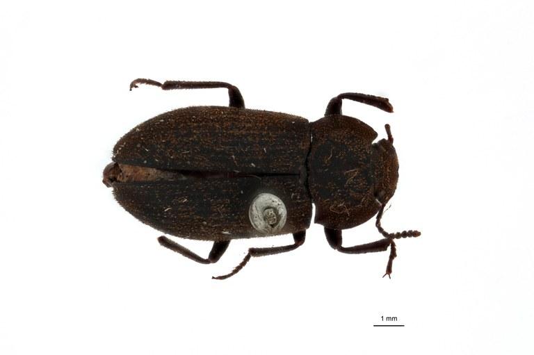 Gonocephalum (Gonocephalum) malayanum pt D.jpg