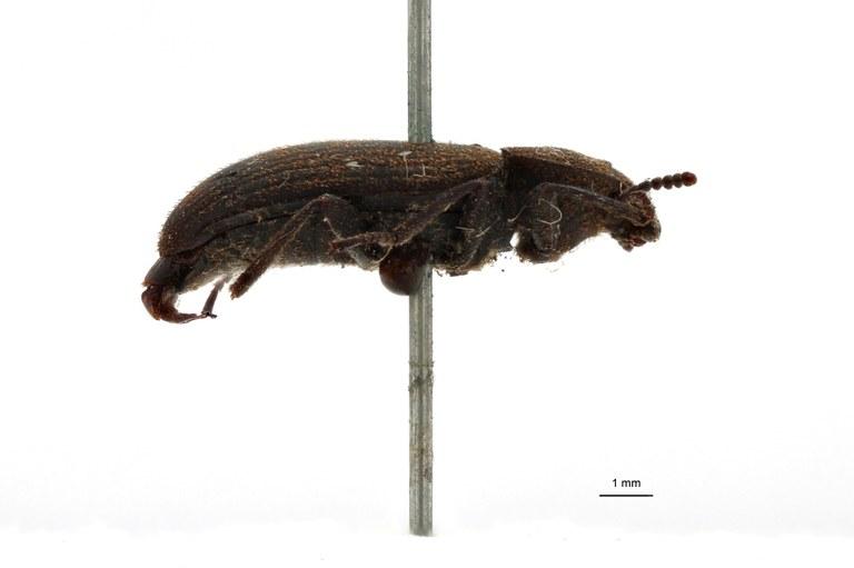 Gonocephalum (Gonocephalum) malayanum pt L.jpg