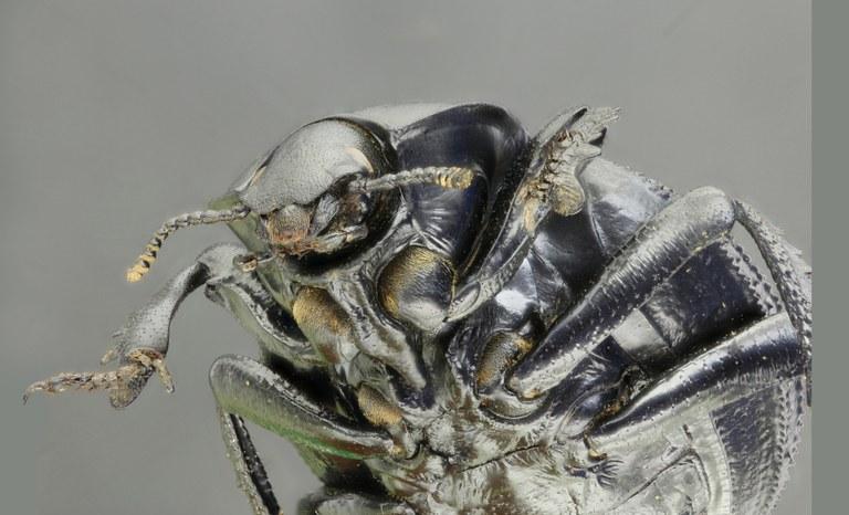 Gonopus deplanatus 68936zs75.jpg
