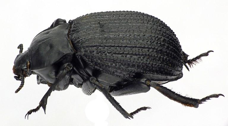 Gonopus deplanatus 74304cz24.jpg