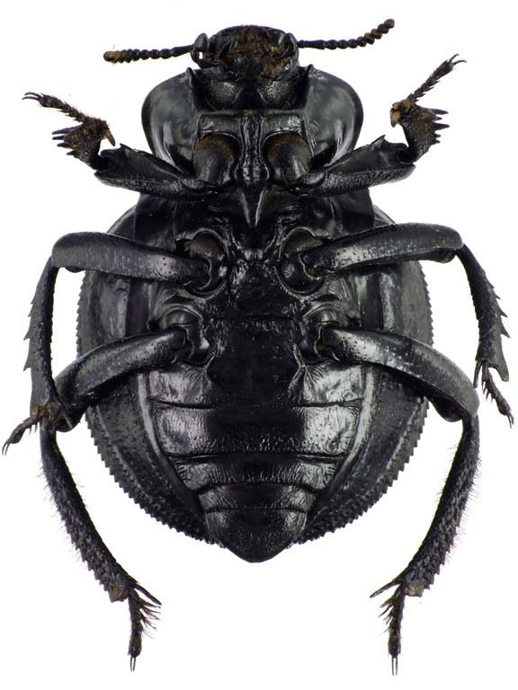 Gonopus deplanatus 74338cz45.jpg