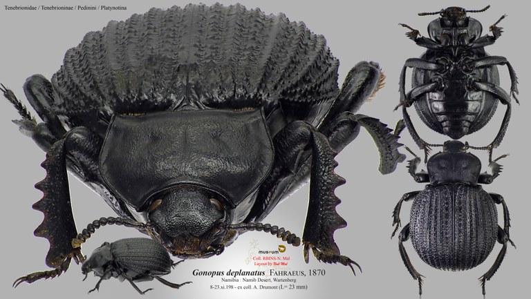 Gonopus deplanatus pl.jpg