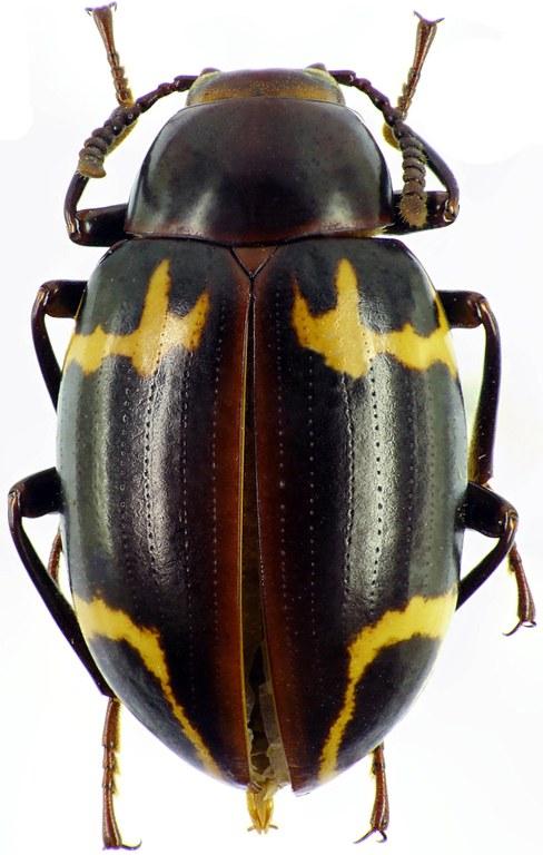 Nesioticus flavopictus 25679cz84.jpg