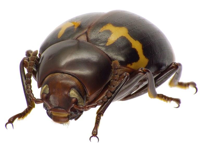 Nesioticus flavopictus 84483cz00.jpg