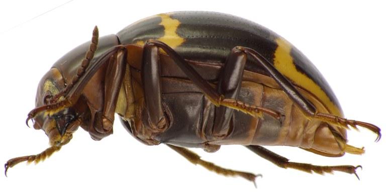 Nesioticus flavopictus 84501cz09.jpg