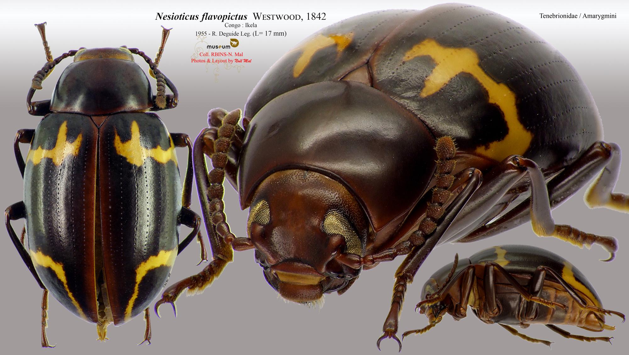 Nesioticus flavopictus.jpg