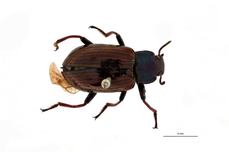 Phaedis suturacyanea pt D.jpg