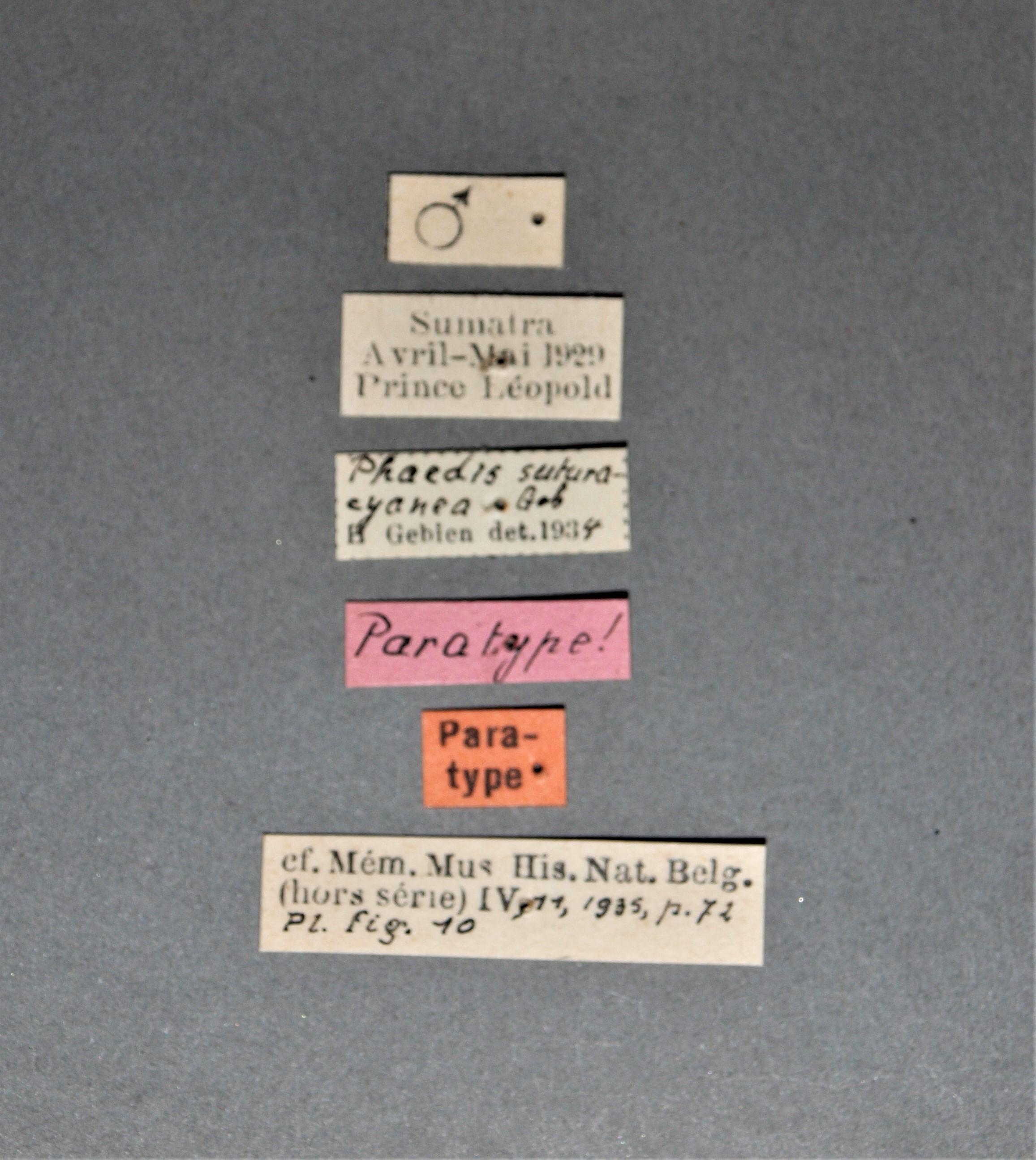 Phaedis suturacyanea pt.JPG