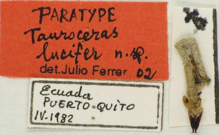 Tauroceras lucifer PTf 78956.jpg