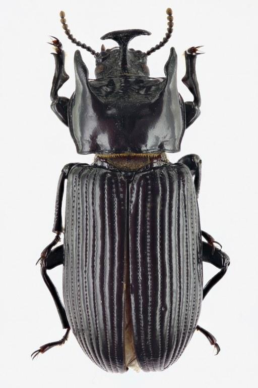 Tauroceropedus difformipes 68777zs00.jpg