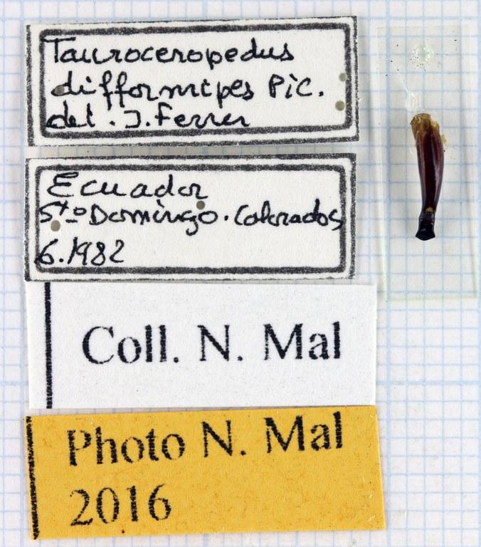Tauroceropedus difformipes lab 68771.jpg