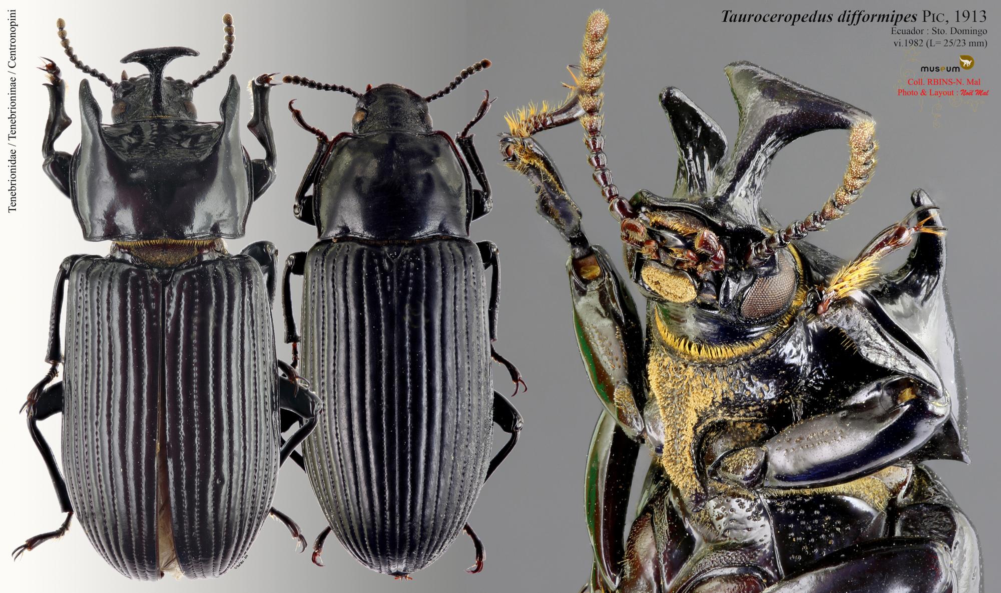 Tauroceropedus difformipes.jpg