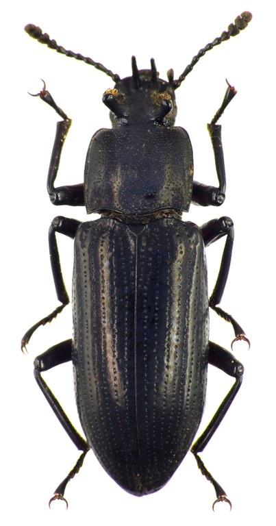 Toxicum quadricorne 7858cz64.jpg