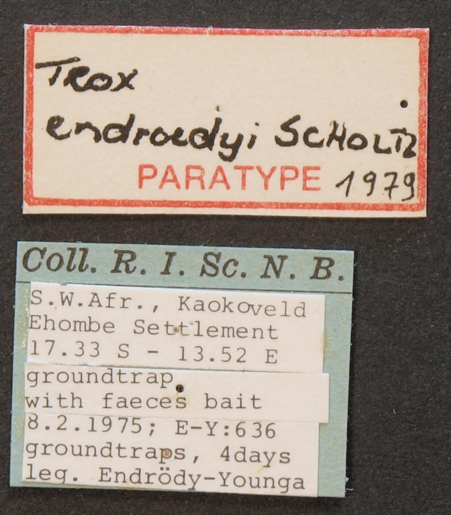 Trox endroedyi pt Lb.JPG