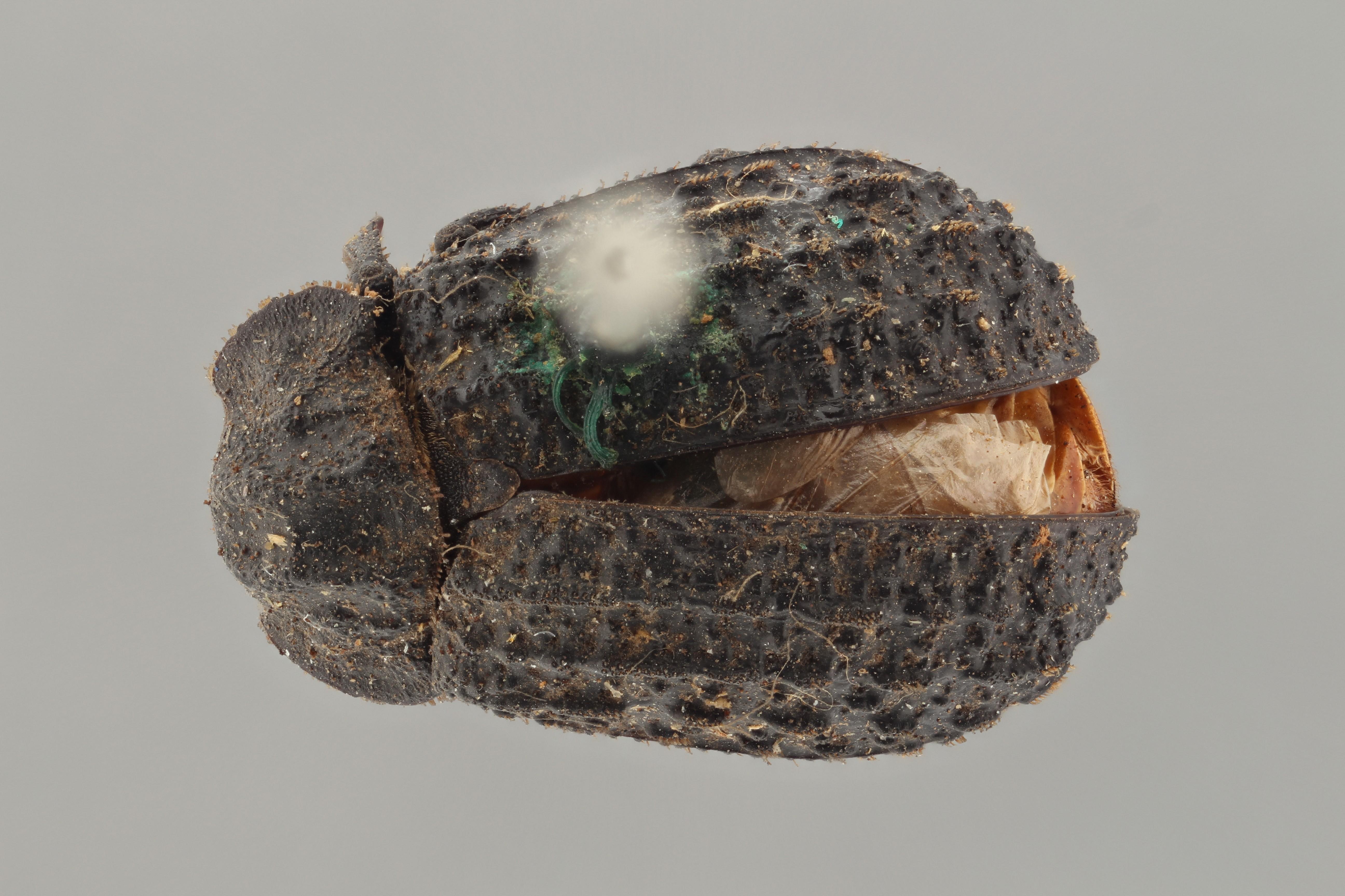 Trox gemmulatus typ D ZS PMax.jpg
