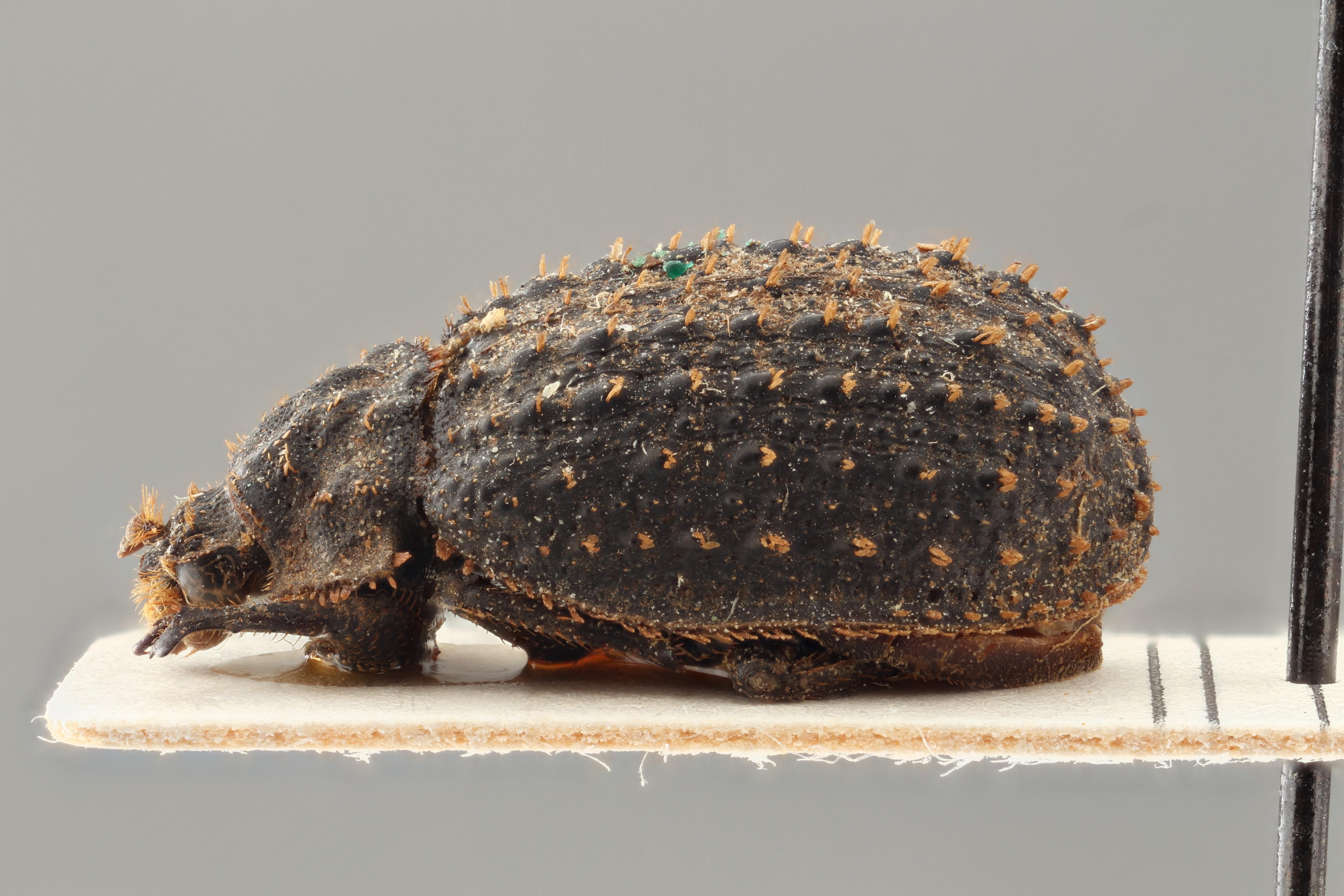 Trox nigrociliatus nyansanus pt L ZS PMax.jpg