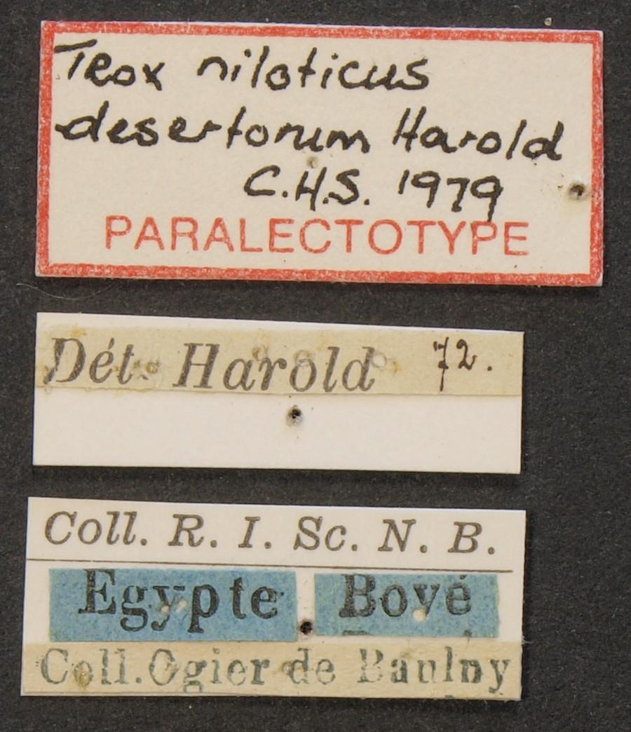 Trox niloticus desertorum plt Lb.JPG