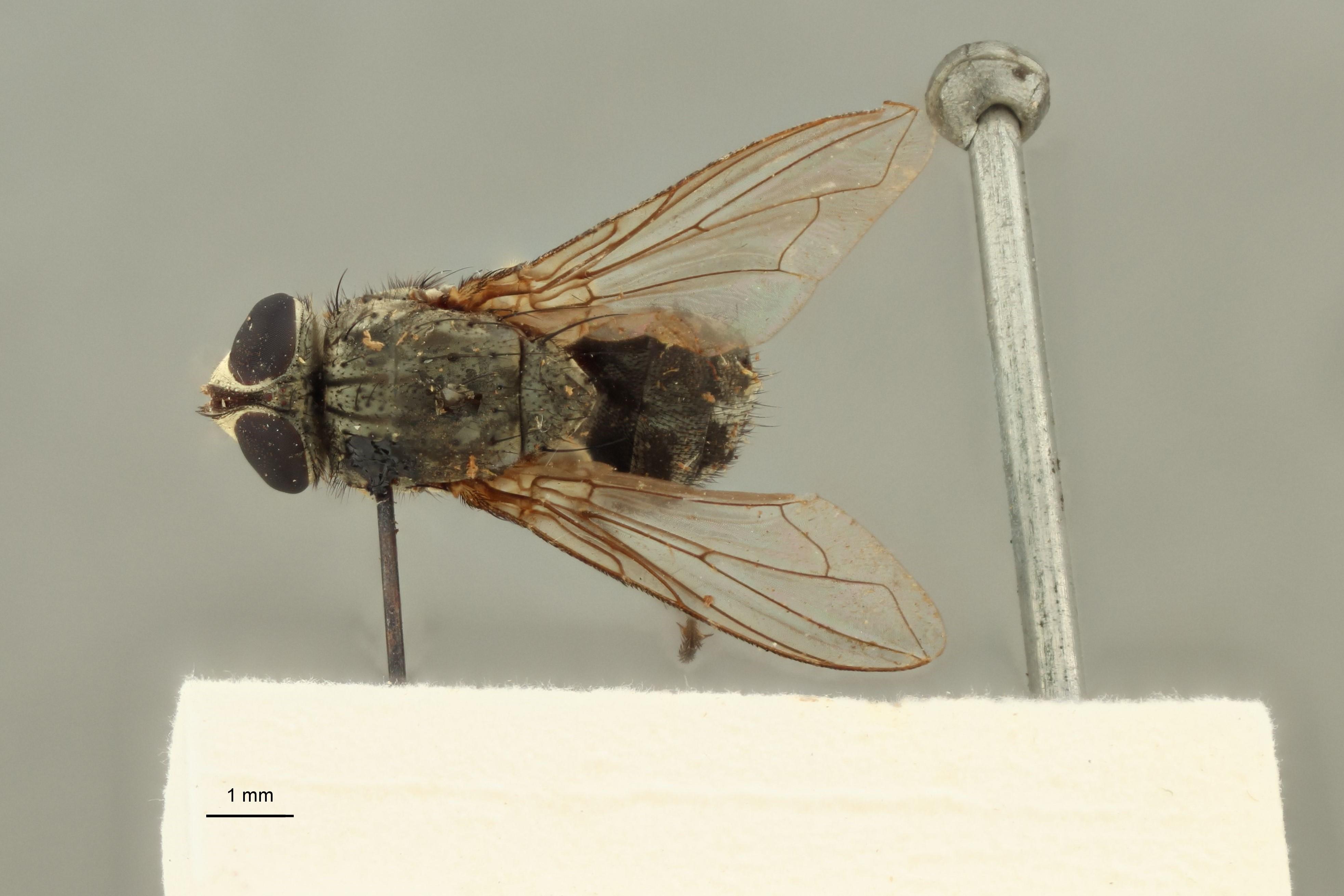 Calliphora prosternalis t D.jpg
