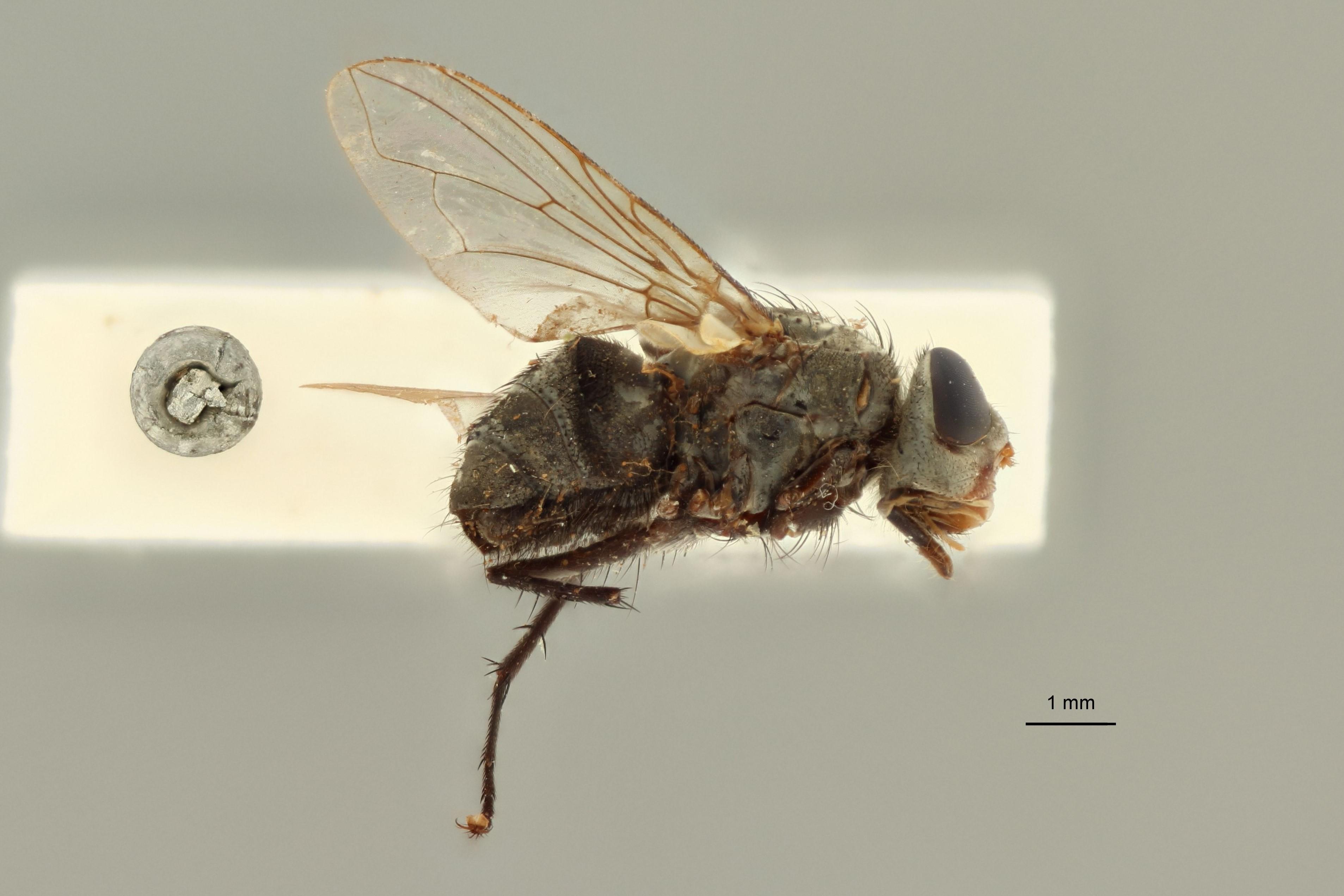 Calliphora prosternalis t L.jpg