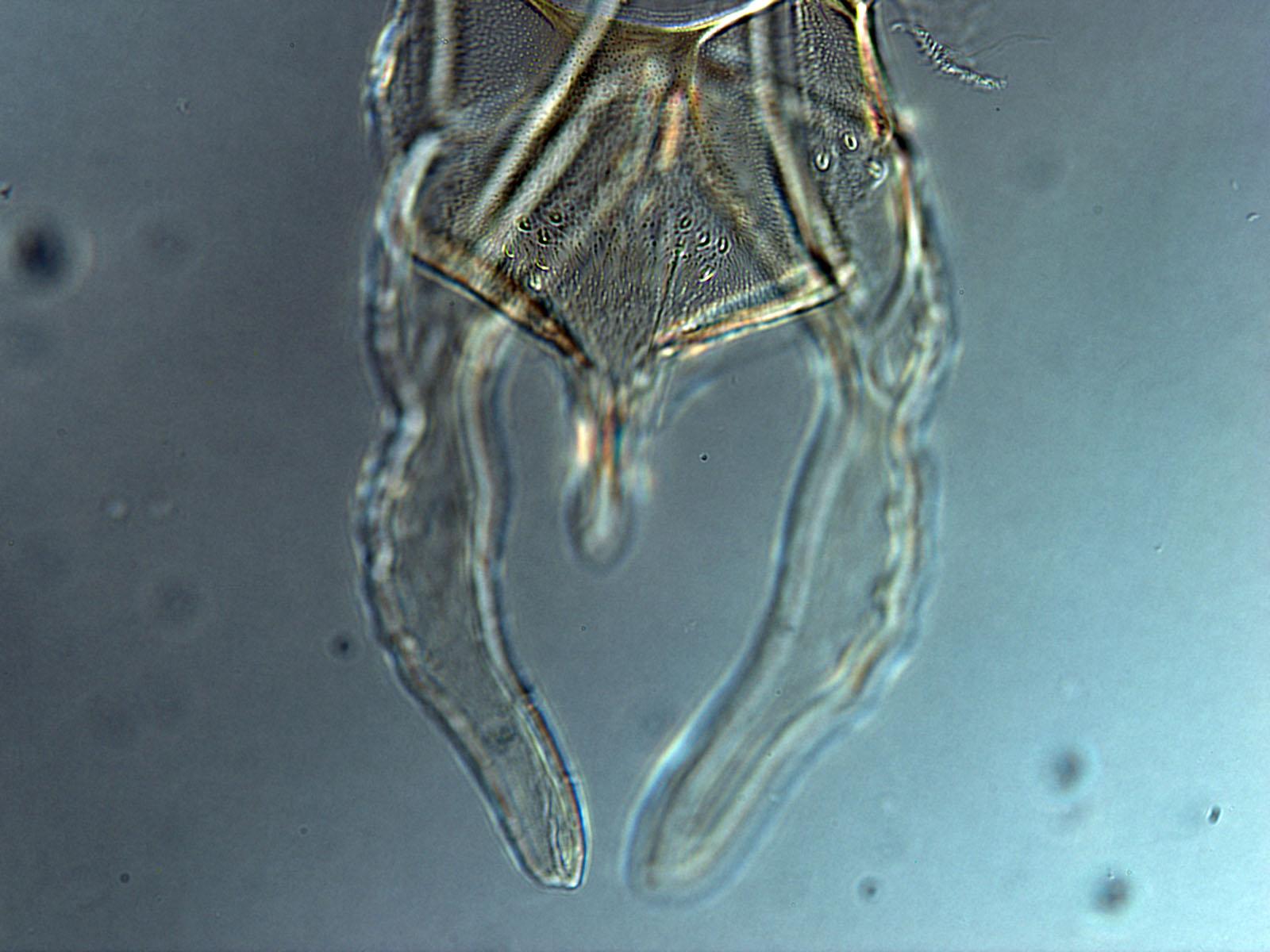 1 Cladopelma viridulum nt1.jpg