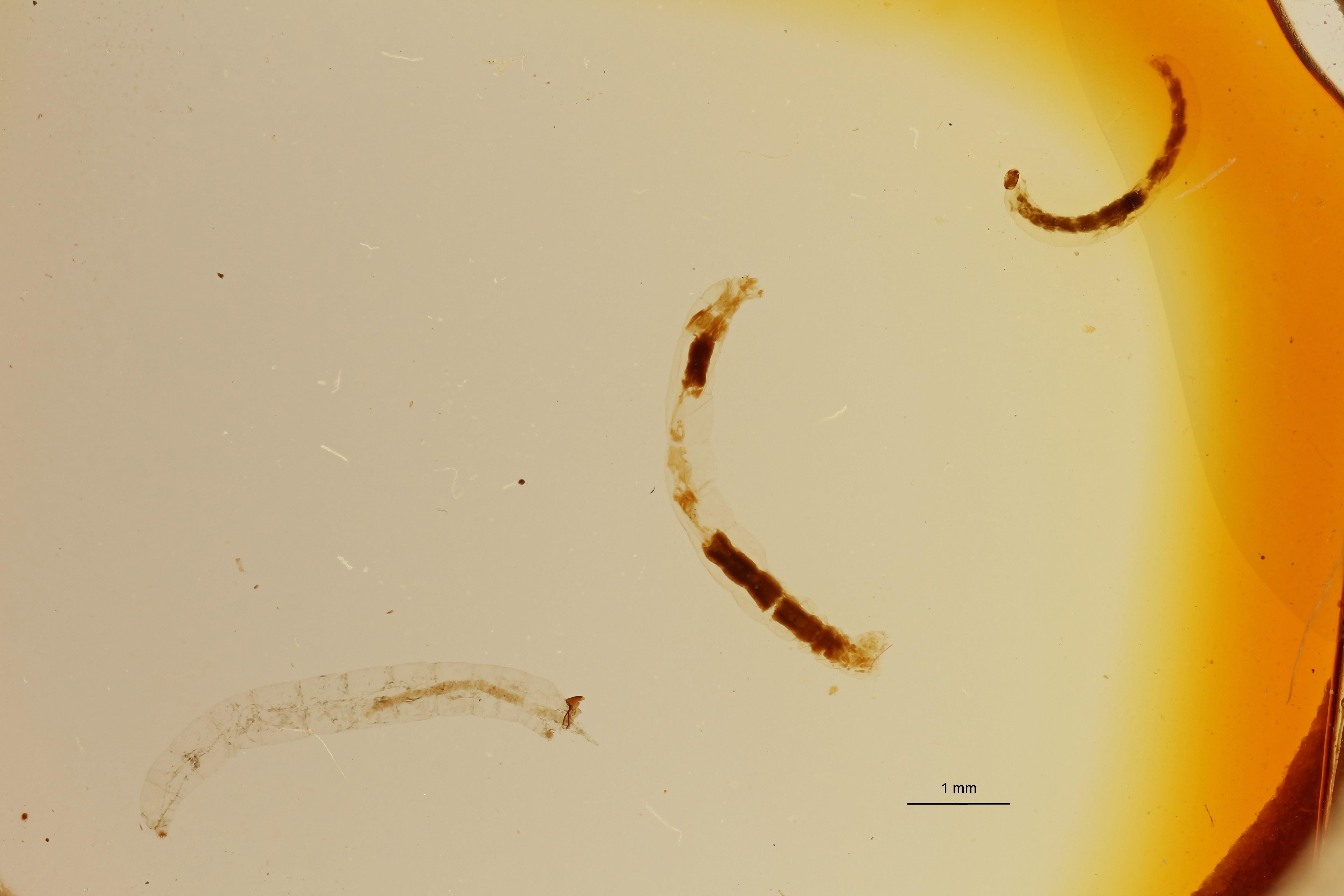 Belgica antarctica 1 Larva 1 L ZS PMax Scaled.jpeg