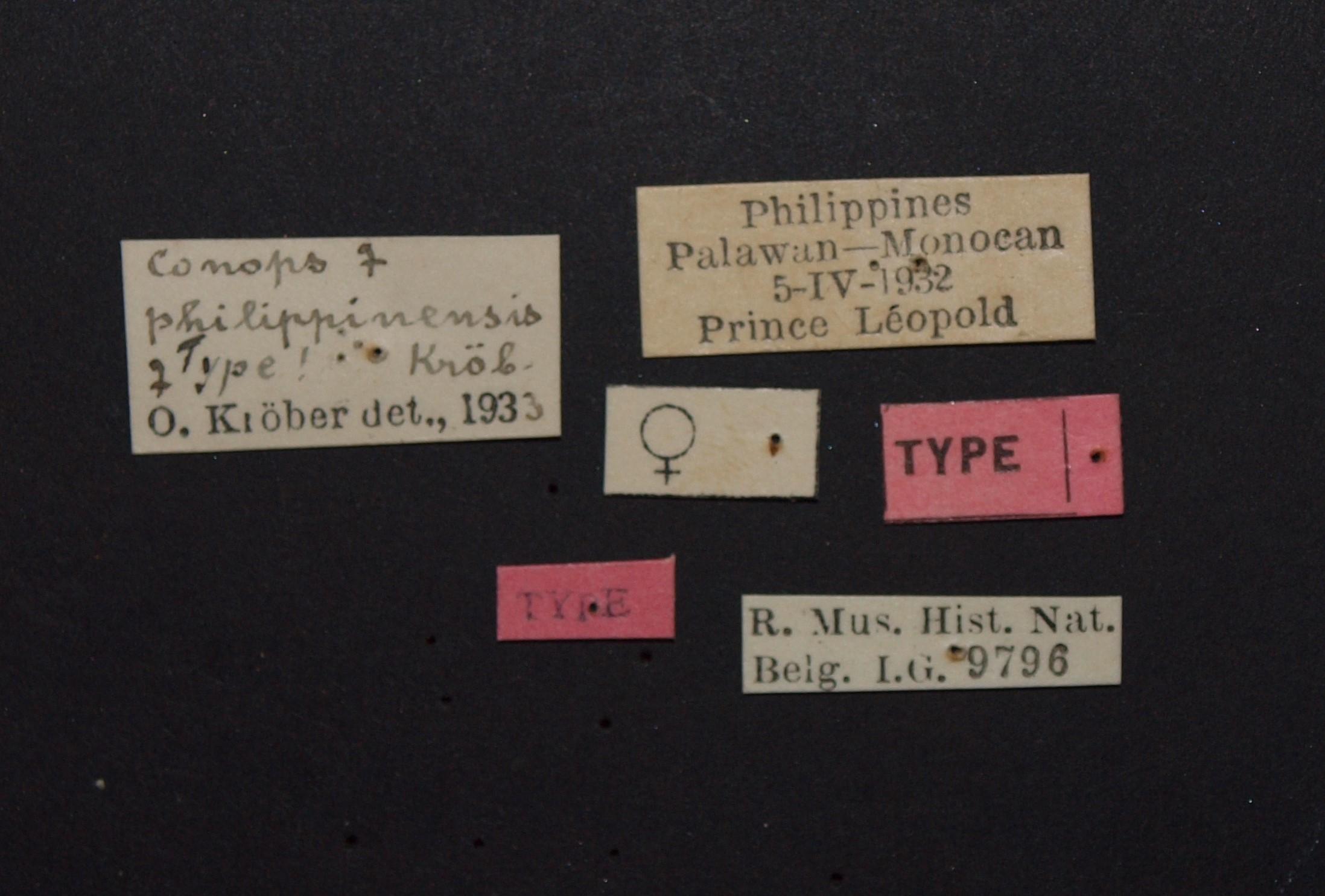 Conops philippinensis t.JPG