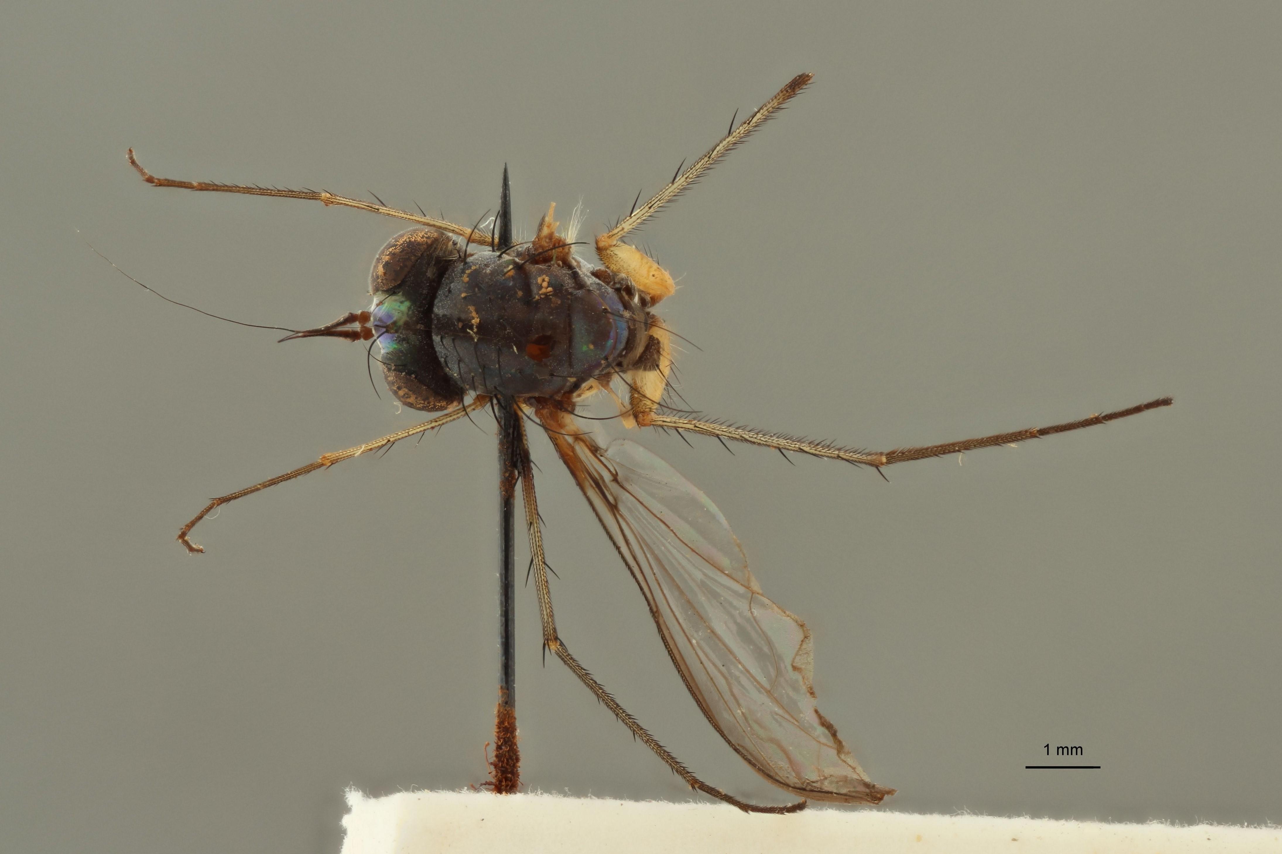 Chrysosoma leopoldi t D.jpg