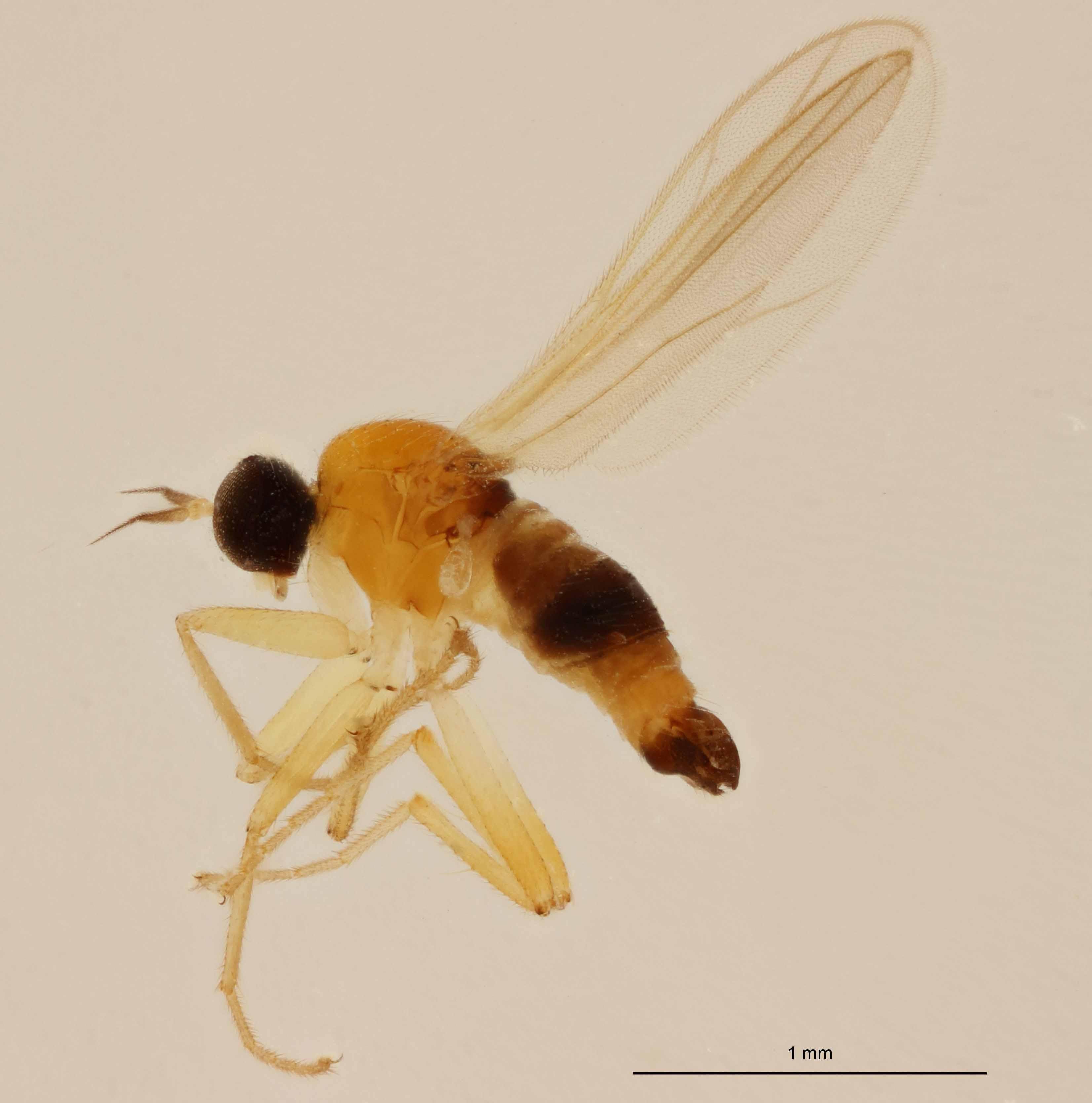 Elaphropeza furcatella ht M L.jpg