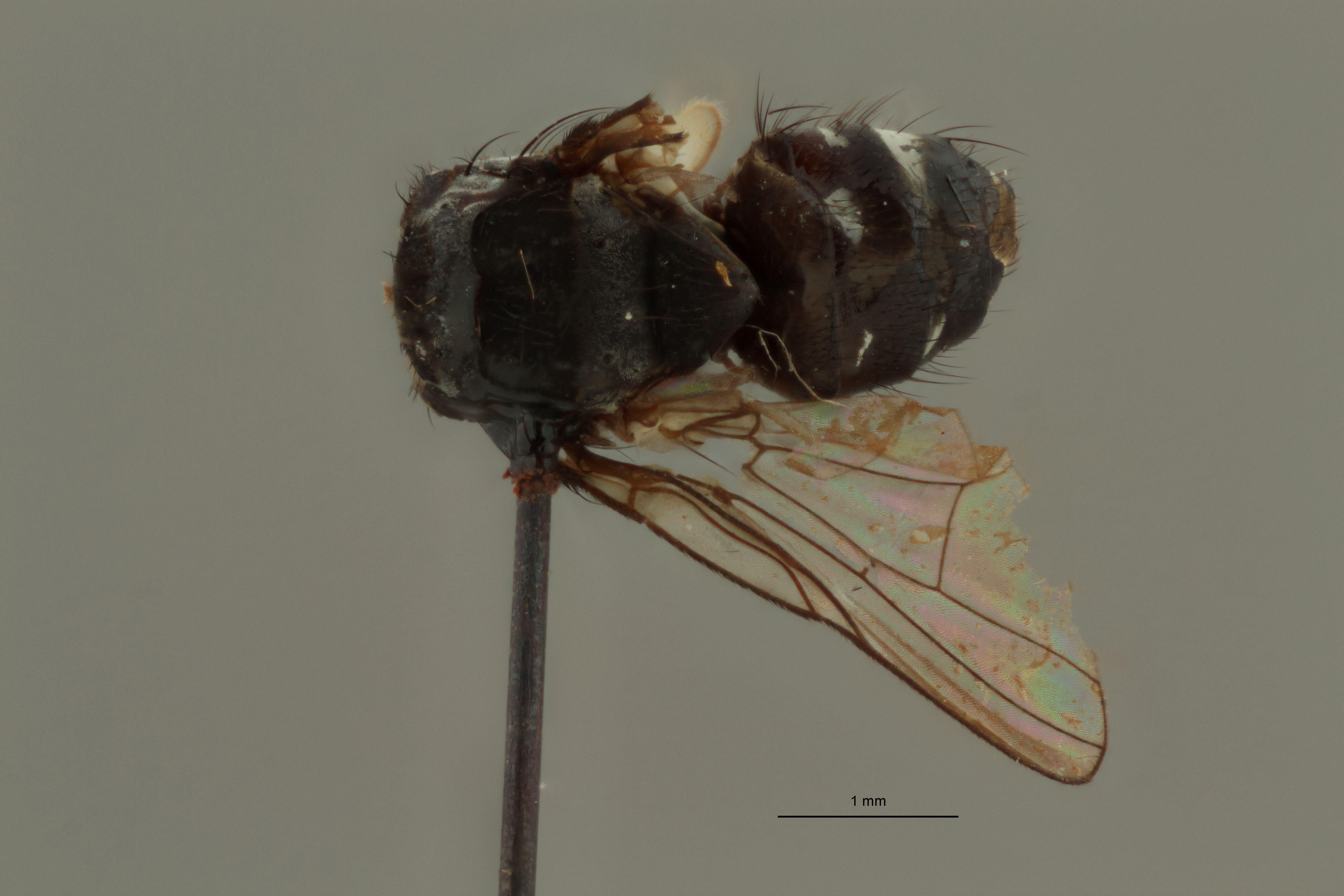 Limnophora parviseta t D.jpg