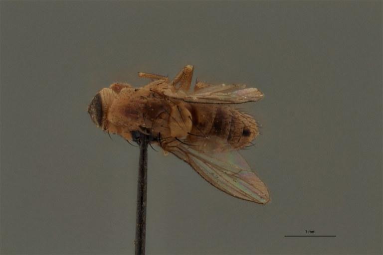 Homoneura dimorpha pt D.jpg