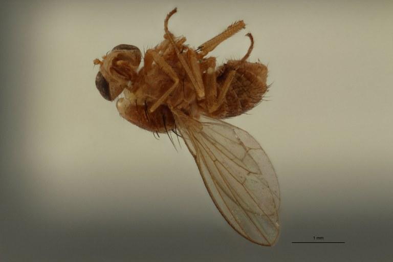 Homoneura dimorpha pt L.jpg