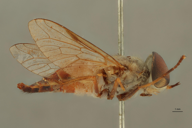Tabanus tenuis t L.jpg