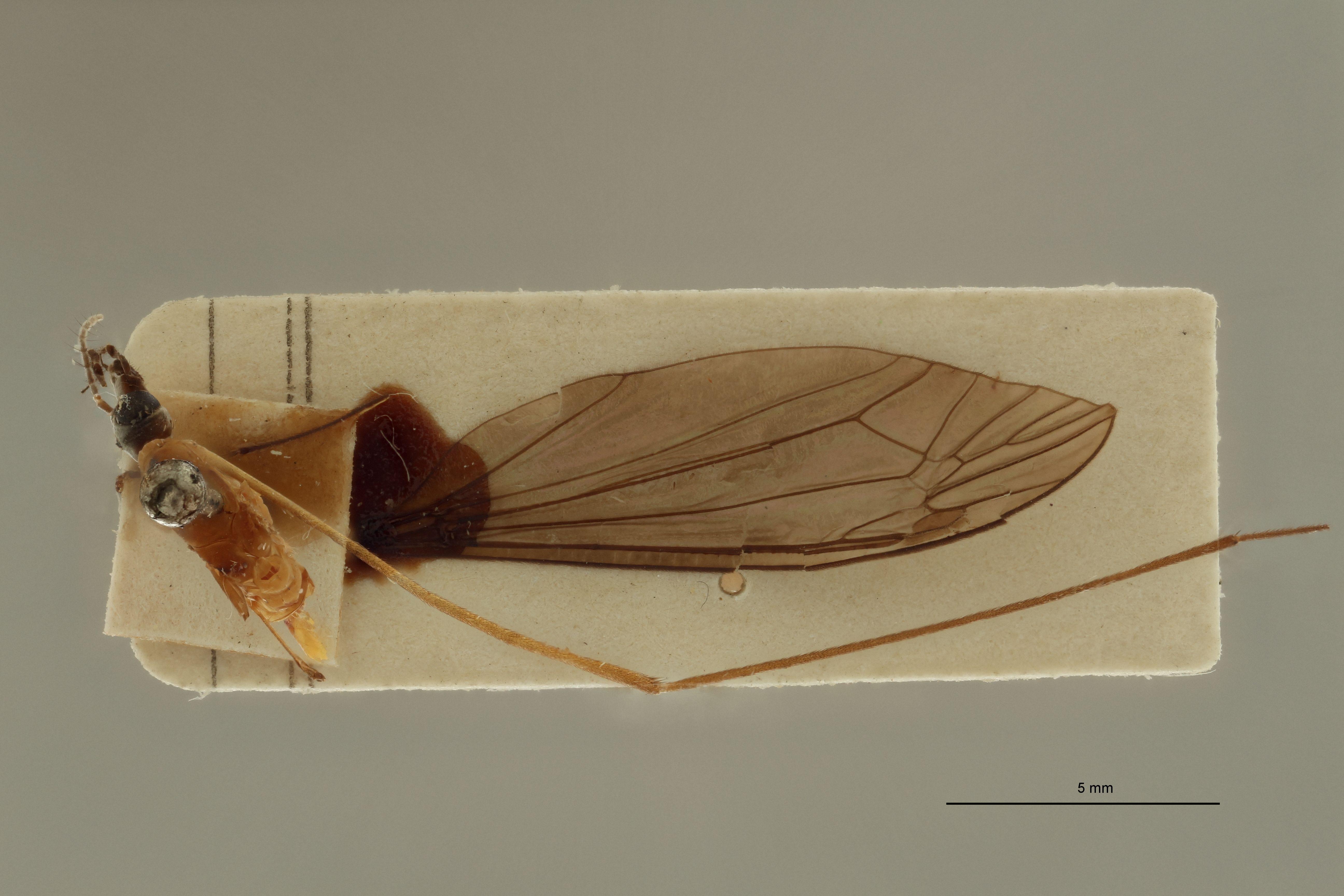 Tipula (Formotipula) leopoldi t D.jpg